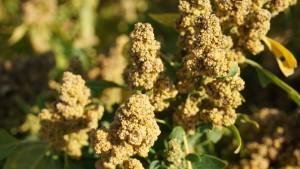 Dutch quinoa 2